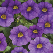 Calibrachoa Plants - Classic Trailing Blue