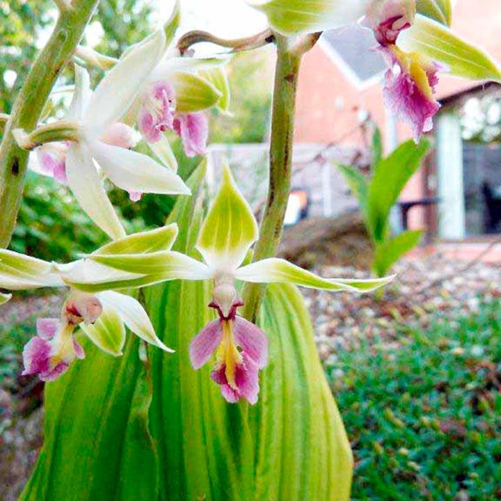 Orchid Calanthe tricarinata