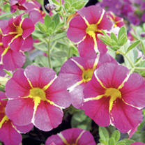 calibrachoa plants