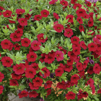 Calibrachoa Plants - Carnival Red