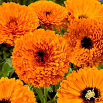 Calendula Plants - Touch of Red