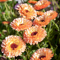 Calendula Plants - Pink Surprise