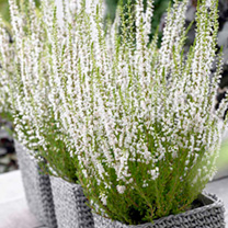 Heather Plant - Calluna vulgaris Garden Girls Melanie