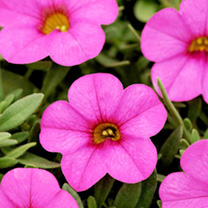 Calibrachoa Plants - F1 Kabloom