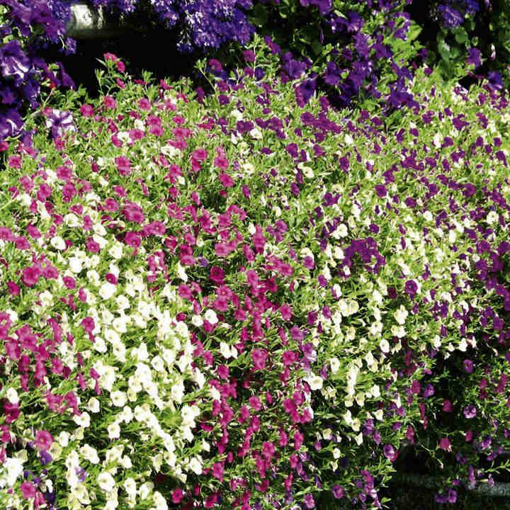 Calibrachoa Plants - Kabloom