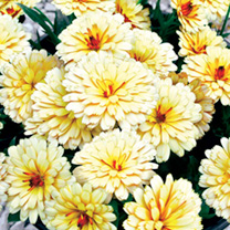 Calendula Winter Creepers Plants - Collection