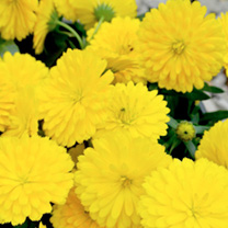Calendula Winter Creepers Plants - Sun & Flurries