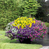 Calibrachoa Plants - Kabloom