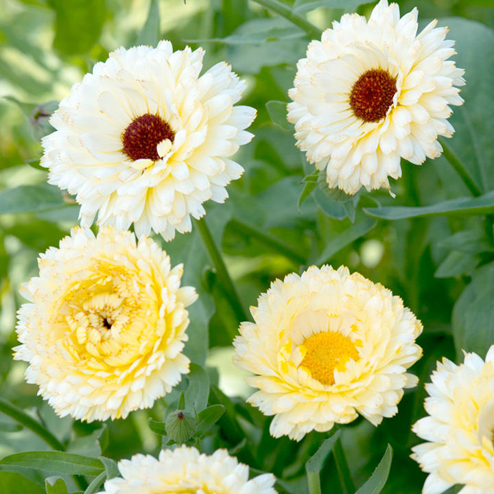 Calendula Seeds - Snow Princess