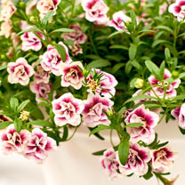 Calibrachoa Plants - Double Pinktastic