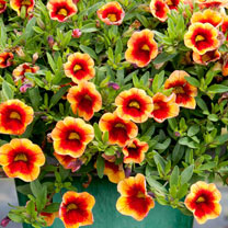 Calibrachoa Plant - MiniFamous Neo Orange & Red Eye