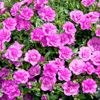 Calibrachoa Plant - MIniFamous Double Pink Mania