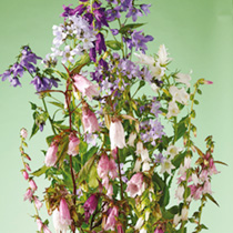 Includes many old-fashioned 'Bellflowers in a host of colours, shapes and sizes, many with attractive foliage. Beautiful plants producing shapely bell