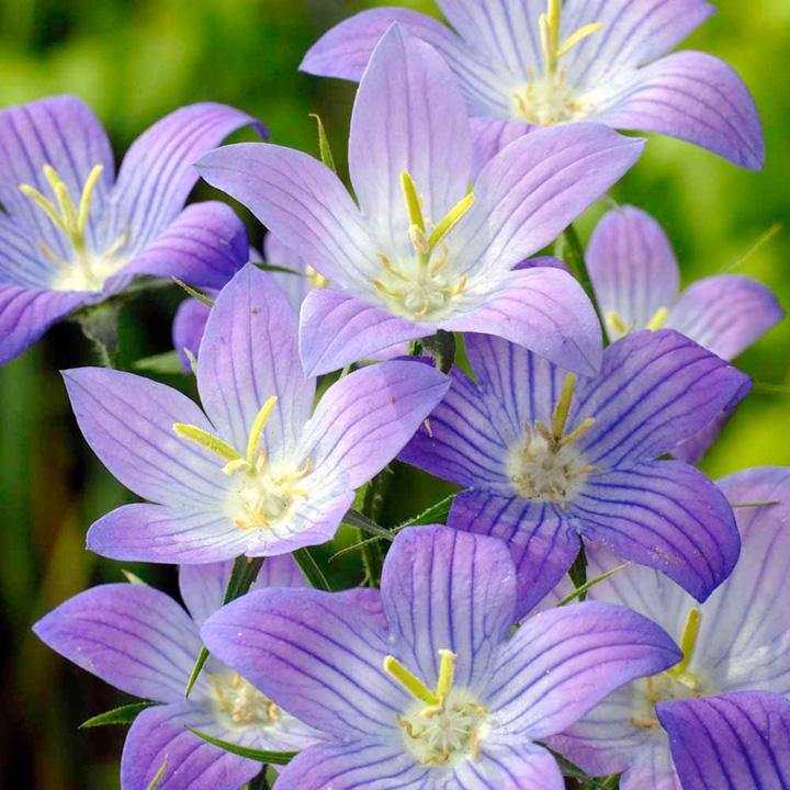 Campanula Seeds - Prairie Blue