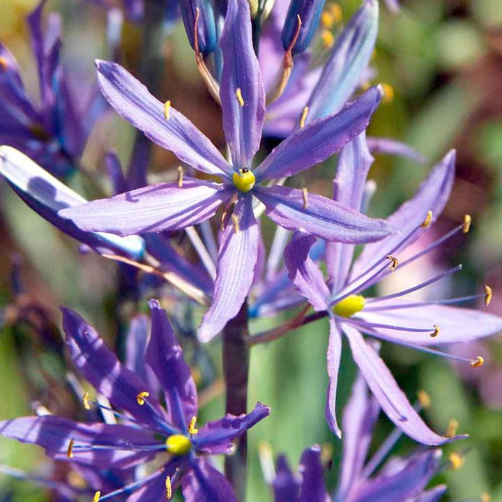 Camassia Bulbs - leichtlinii Caerlea