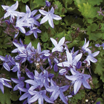 Campanula Plant - poscharskyana Blue Waterfall