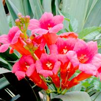 Campsis tagliabuana Plant - Madame Galen