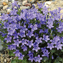 Campanula Plant - Blue Magic