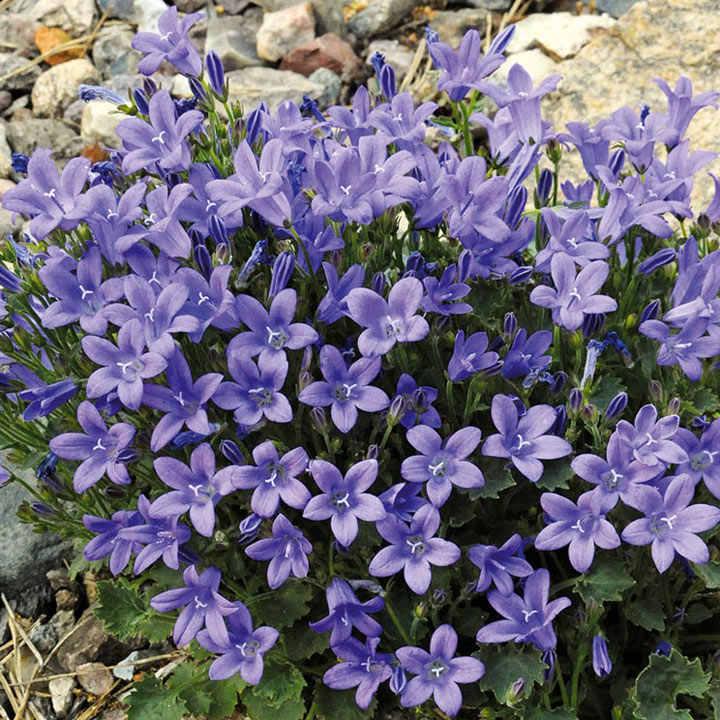 Campanula Plant - Blue Magic