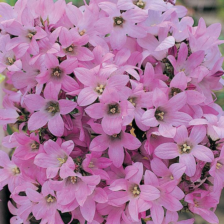 Campanula Plant - Dwarf Pink