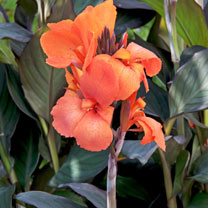 Cannas are ideal for our English climate. Short plants for every type of garden. Ideal for patios and urban gardens. Range of tropical colours. Impres