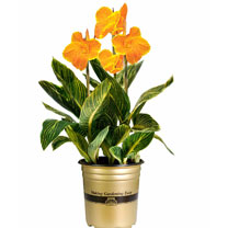 Canna Plant - Tropicanna Gold