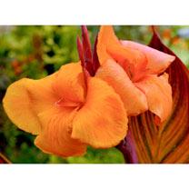 Canna Plant - Tropicanna