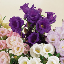 A well-known variety which comes in a lovely mixture of soft colours. An attractive 'cottage garden favourite, producing large flowers in the distinct