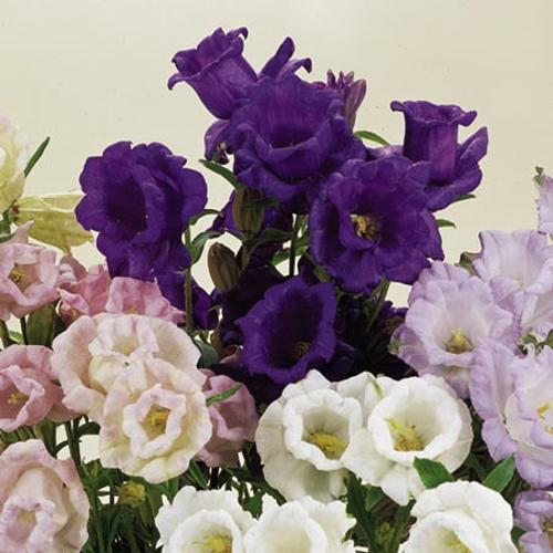 Canterbury Bell Seeds - Cup and Saucer Mix