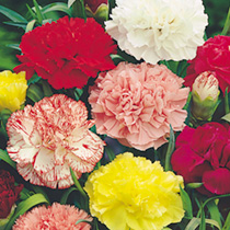 Carnation Seeds - Chabaud Giant Mix