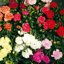 Carnation Plants - F1 Lillipot
