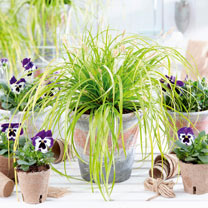 Carex Plant - Everello