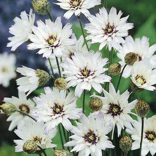 Catananche caerulea Plant - White
