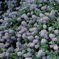 Ceanothus repens Plant
