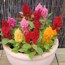 Very uniform growing habit, ideal for pots, borders and bedding. Dramatic flower spikes that will extend your season of colour. Height 15cm (6). HA Ha
