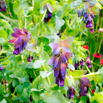 Cerinthe Seeds - Honey Bee