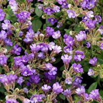 Chaenorrhinum origanifolium Plants - Arista
