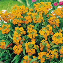 Wallflower Siberian Seeds