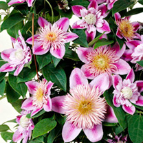 Clematis Regal Double Plants - Josephine