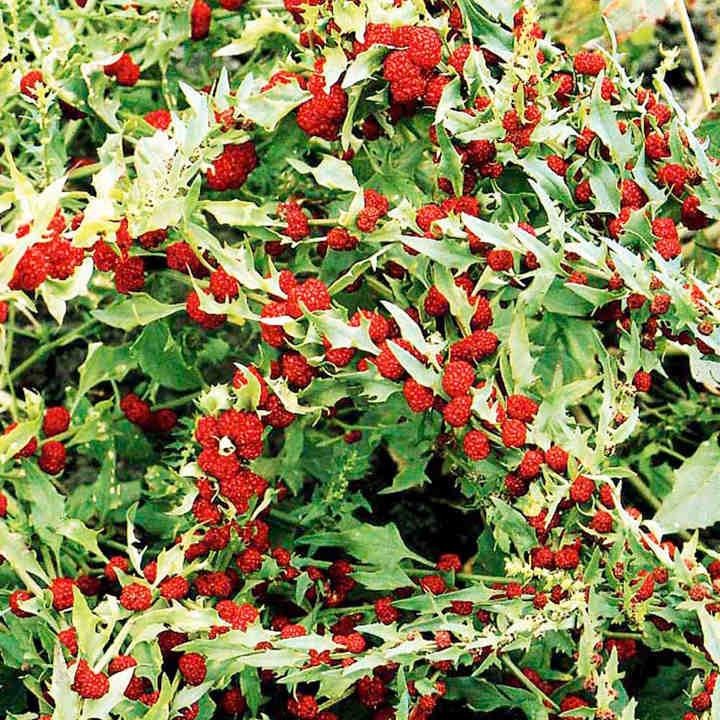 Chenopodium Seeds - Strawberry Sticks