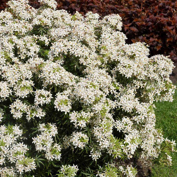 Choisya Plant - White Dazzler