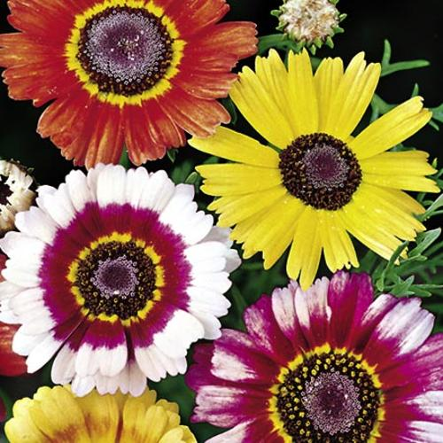 Chrysanthemum carinatum Seeds - Sunshine Mix