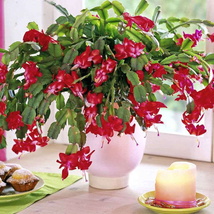 Christmas Cactus - Red