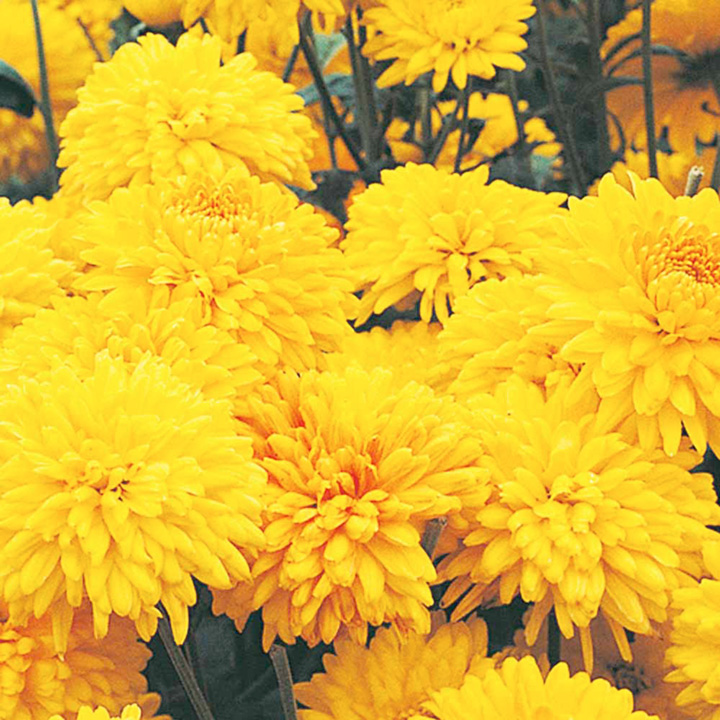 Chrysanthemum Spray Plants - Collection