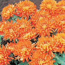 Chrysanthemum Plants - Bloom Collection