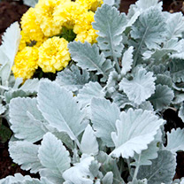 Compact plants with a bushy habit and oval-shaped, silvery-white leaves. Height 30cm (12). Silvery foliage accentuates colours in other plantsCompact