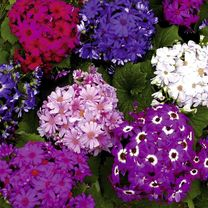 Cineraria Seeds - Tea Party