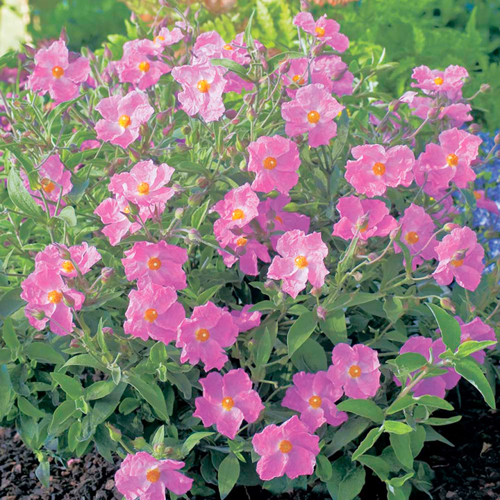 Cistus Plant - Silver Pink