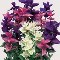 A harmonious mixture of blue, pink and white. Easy to grow, bushy plants with brightly coloured bracts. Flowers mid June-September. Height 41-50cm. HA