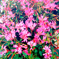 Clarkia Seeds - Pink Ribbons